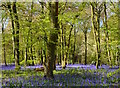 SU6887 : Bluebells, Nuffield, Oxfordshire by Oswald Bertram