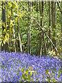 TQ9961 : Bysing Wood near Faversham : Week 18