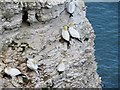 TA1974 : Gannets  on  Bempton  Cliffs : Week 18