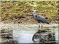SD7808 : Grey Heron; Manchester, Bolton and Bury Canal by David Dixon