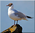 J5082 : Black-headed gull, Bangor (May 2015) by Albert Bridge