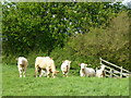 SK9828 : Cows in Field by Bob Harvey