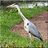 SJ9495 : Heron by the Peak Forest Canal by Gerald England