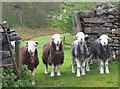 NY3303 : Four Herdwicks, Elterwater Park farm by Jim Barton