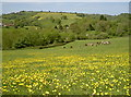 ST5865 : Buttercups for the butter producers by Neil Owen