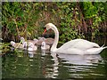 SD7807 : Swan and Cygnets by David Dixon