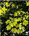 TA2169 : Leaves in Dyke Wood, E Yorks : Week 21
