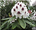 TQ0182 : Rhododendron flower, Temple Gardens, Langley Park by David Hawgood
