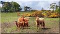 NZ1206 : Highland Cattle by Mick Garratt