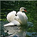 TL4964 : A swan on the Cam by John Sutton