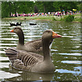 TQ6039 : Greylag Goose at Dunorlan Park by Oast House Archive