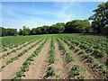 SJ5074 : Crops at Commonside Farm by Jeff Buck