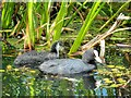 SD7807 : Manchester, Bolton and Bury Canal, Adult and Young Coot (Fulica atra) at Radcliffe by David Dixon