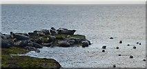 NU1344 : Seals at Castlehead by DS Pugh