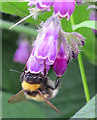 NO6948 : Bumble Bee on Comfrey Flowers by Anne Burgess
