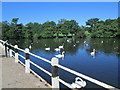 SJ8471 : Swans on Redesmere by David Weston