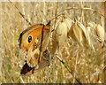 SD5002 : Mating Gatekeeper butterflies near Promised Land Farm : Week 32