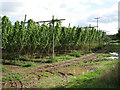 SO6943 : Hop field at Old Court Farm by Oast House Archive
