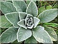 NZ1465 : Great mullein (Verbascum thapsus), Tyne riverside by Andrew Curtis