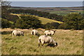 SS8536 : West Somerset : Exmoor Scenery & Sheep by Lewis Clarke