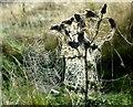 SK2667 : Cobwebbed Thistles in The Derwent Valley : Week 40