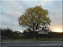 SU9396 : Tree on Amersham Road, Woodrow by David Howard