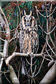 HP6209 : Long-eared Owl (Asio otus), Baltasound : Week 41