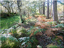 NH6762 : Minor forestry track from Agnes Hill into the Millbuie Forest by Julian Paren