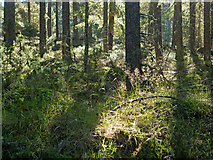 NH6661 : Floor of the Millbuie Forest by Julian Paren