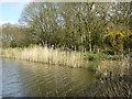 SJ8380 : The southern end of Black Lake on Lindow Common by Rod Allday