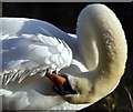 J3675 : Swan, Victoria Park, Belfast - November 2015(2) by Albert Bridge