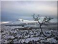 SD7075 : Hawthorn in snow, Twisleton Scar End : Week 3