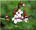 TG2403 : Flowering tree beside High Ash Lane : Week 5
