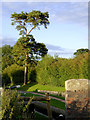 SJ6542 : Scots pine by Audlem Locks No 7, Cheshire by Roger  Kidd