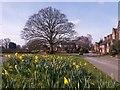 SJ8461 : Astbury at daffodil time by Stephen Craven