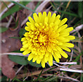 TG2700 : A dandelion flower by Evelyn Simak