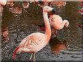 SD4314 : Chilean Flamingos (Phoenicopterus chilensis) at Martin Mere by David Dixon