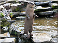 SD4214 : Asian short-clawed otter (Amblonyx cinerea), WWT Martin Mere Wetland Centre by David Dixon