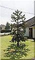TF0751 : Monkey Puzzle Tree, Manor Street, Ruskington by Julian P Guffogg