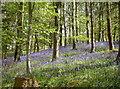 ST6763 : Stantonbury bluebells by Neil Owen