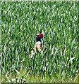 TF8939 : Cock pheasant in wheat crop field : Week 18