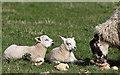 NT6961 : Lambs at Cranshaws : Week 18