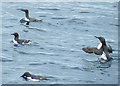 NJ5966 : Guillemots (Uria aalge) by Anne Burgess