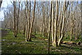 TR1052 : Coppicing, Denge Wood by N Chadwick