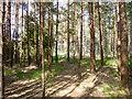 SU9067 : Coniferous plantation, Swinley Forest by Robin Webster