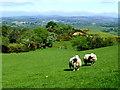 H4685 : Sheep, Dunbunrawer : Week 22