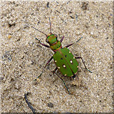 SU9360 : Green Tiger Beetle, Cicindela campestris by Robin Webster