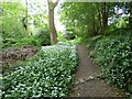 SJ9493 : Banks of wild garlic by Gerald England