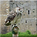 SE0391 : Indian Eagle Owl at Bolton Castle's falconry display : Week 23
