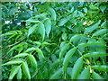 SO7338 : Healthy ash foliage by Jonathan Billinger